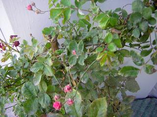 Maladie du rosier : oïdium