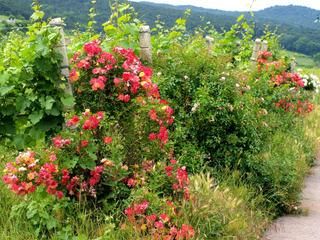 Pourquoi voit-on des rosiers devant les rangs de vignes ?