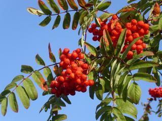 Baies de sorbier - Sorbus aucuparia