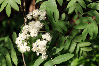 Fleurs de sorbier - Sorbus aucuparia