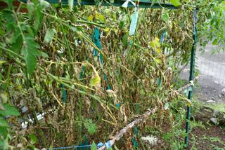 Plants de tomates atteints de mildiou
