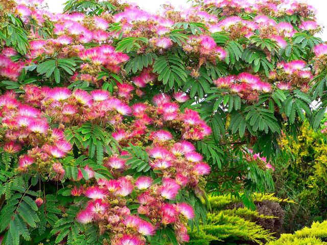 Albizia julibrissin (Envie d'exotisme au jardin ? )