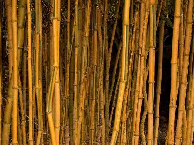 Phyllostachys (bambou) (Envie d'exotisme au jardin ? )