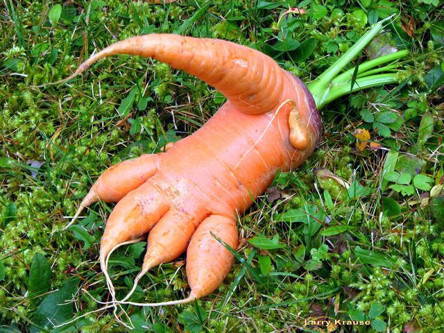 Drôle de carotte (Un peu de fantaisie au jardin)