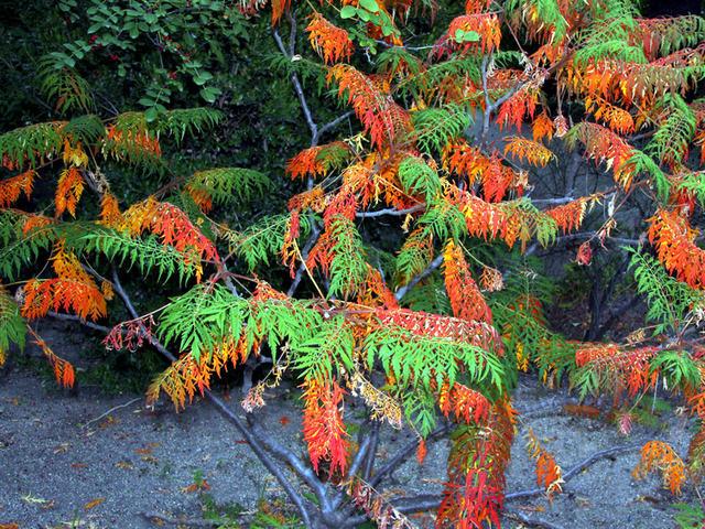 Rhus typhina 'Laciniata' (Envie d'exotisme au jardin ? )