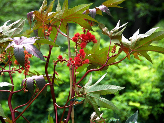 Ricinus communis (Envie d'exotisme au jardin ? )