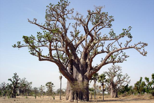 Baobab : conseils de culture en pot à l'intérieur