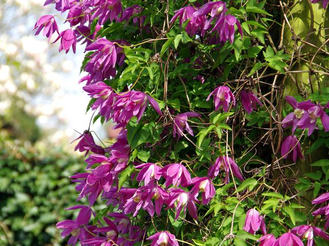 Clematis alpina 'Constance' (Clématite, la reine des lianes)