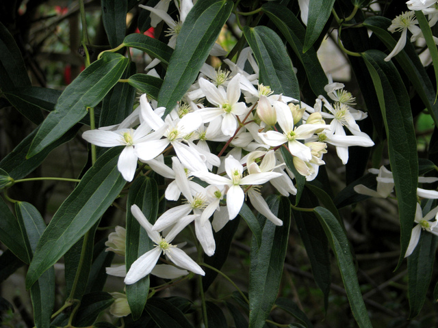 Floraison hiver fleurs blanches parfum tout for Floraison hiver