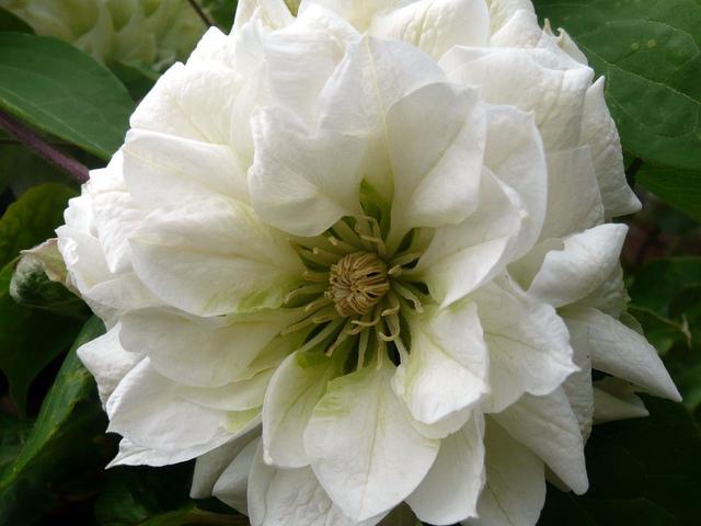 Clématite 'Duchess of Edinburgh' (Clématite, la reine des lianes)