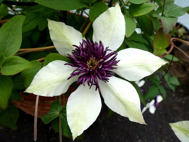 Clematis florida 'Sieboldii' (Clématite, la reine des lianes)