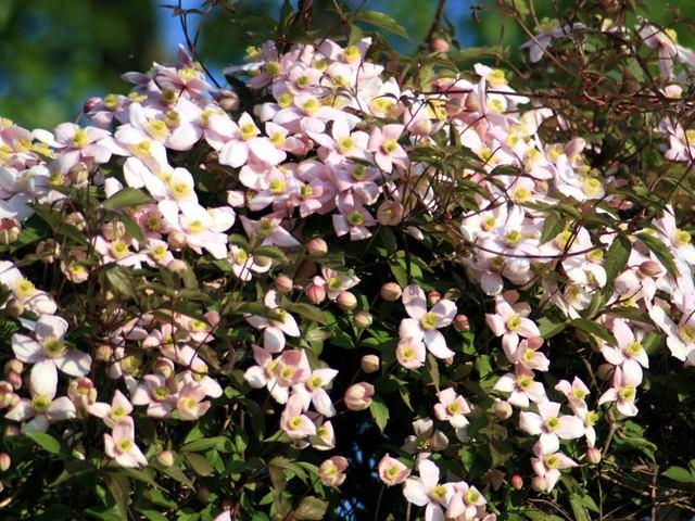 Clematis montana (Clématite, la reine des lianes)