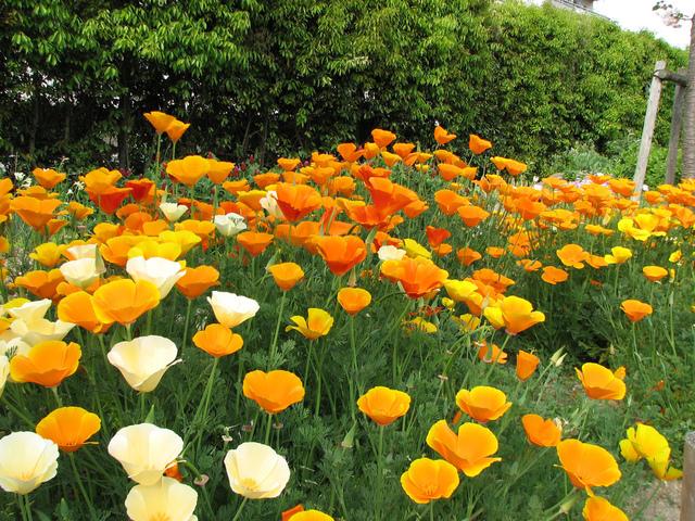 Jardinage en mai: fleurs, fenêtre et balcon