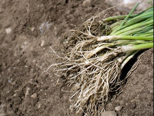 Legume a repiquer le semis en terrines ou en caissettes consomme pour sa racine charnue la - Plants de poireaux a repiquer ...