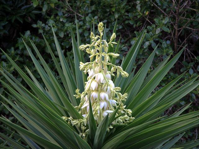 Fleur Yucca Photo Fleur Vap Vap