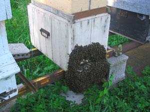 essaim sortant de la ruche - D.R.