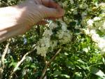Pourquoi certaines plantes sont-elles aromatiques ?