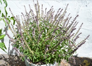 Basilic vivace cultivé en pot