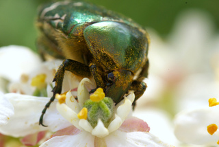 Cétoine dorée couverte de pollen