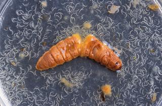 Cadavre de chenille laissant échapper des milliers de nématodes