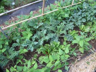 Jeunes plants de chou kale