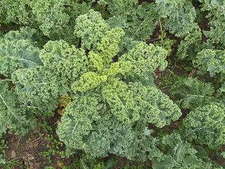 Chou Kale - Chou vert frisé Brassica oleracea convar. acephala var. laciniata