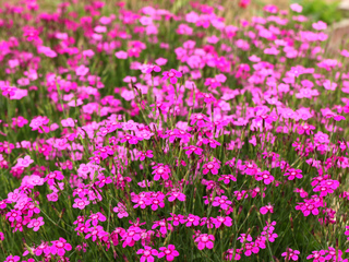 Plantes couvre sol pour le soleil pour l 39 ombre arbustes - Plantes exterieures plein soleil ...