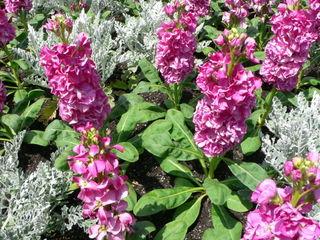 Giroflée d'été à fleurs doubles et cinéraire maritime