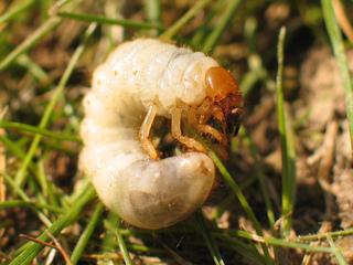 La c toine dor e un insecte auxiliaire utile au jardin - Que faire avec du marc de cafe dans le jardin ...
