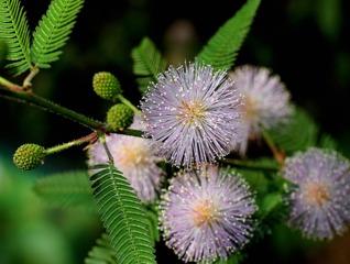Sensitive, Mimosa pudica