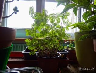Mimosa pudica placé devant une fenêtre