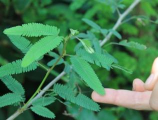 Feuillage de Mimosa pudica se repliant en cas de contact