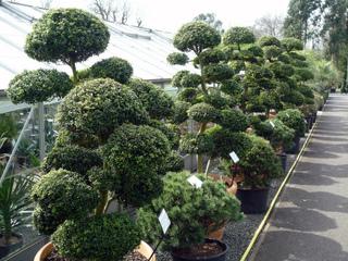 Niwakis vendus en jardinerie