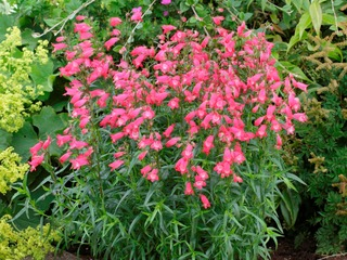 Penstemon Carillo Rouge