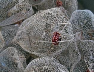 Physalis alkekengi - Fruits secs