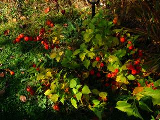 Physalis alkekengi en fin d'automne