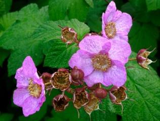 Rubus odoratus - Fleurs