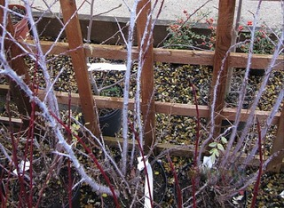 Rubus thibetanus 'Silver Fern' en hiver