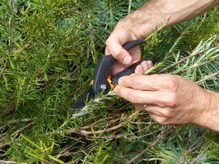 Tailler les différentes plantes aromatiques : quand, comment ?