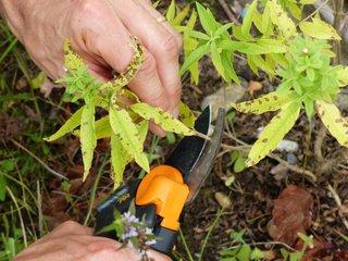 Nettoyage d'un pied de verveine citronnelle