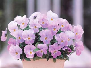 Violette Floral Power rose tendre