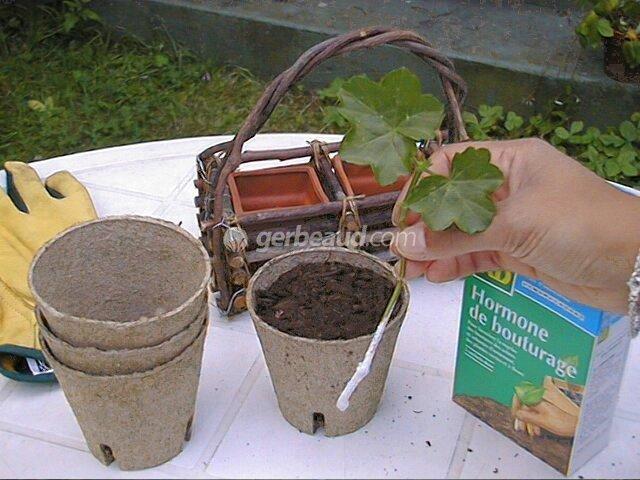 bouturage geranium et pelargonium. Black Bedroom Furniture Sets. Home Design Ideas