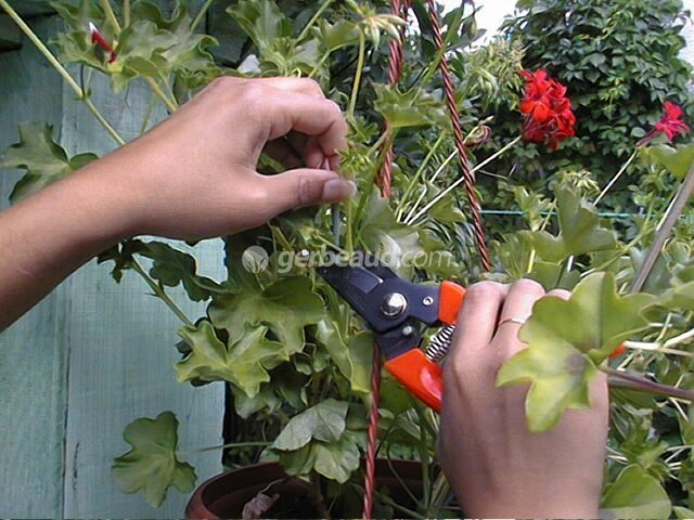 Bouturage geranium et pelargonium