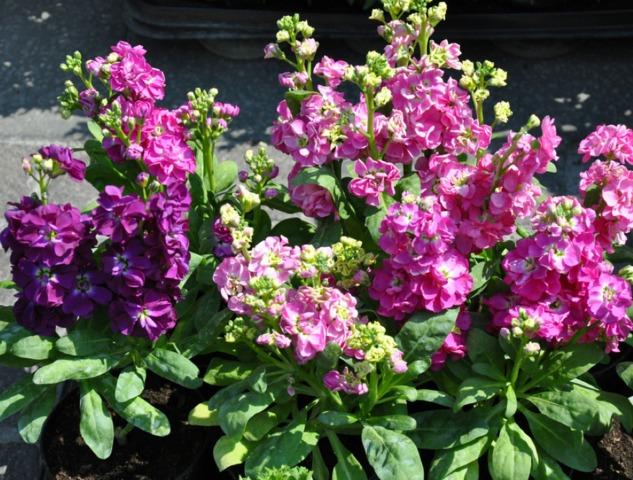 Giroflée d'été (matthiola) : semis, plantation et culture