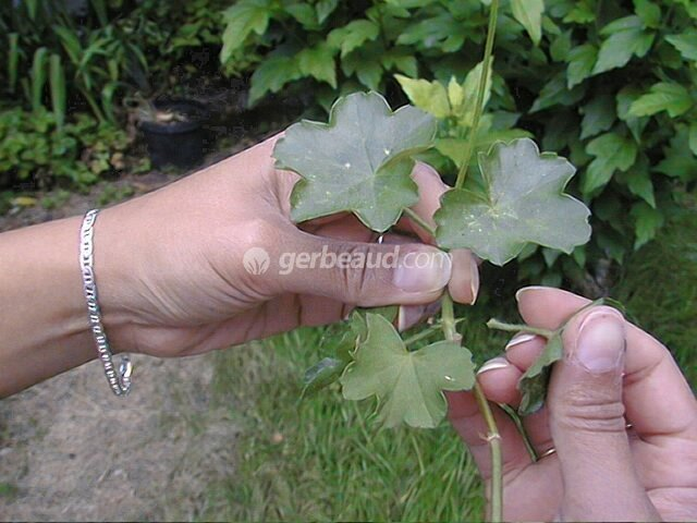 Le bouturage des g raniums - Faire une jardiniere de geranium ...