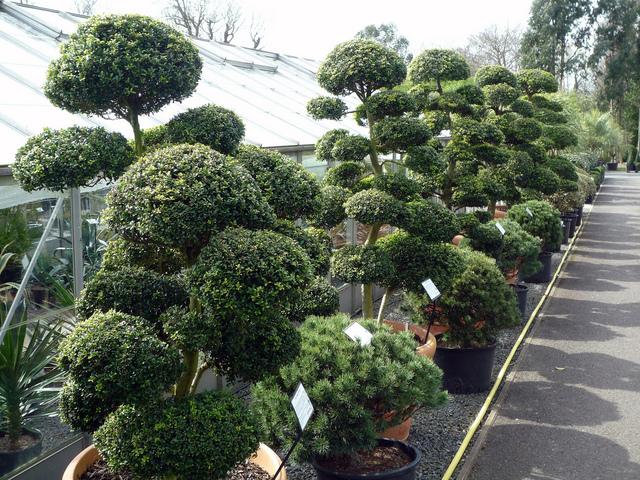 les niwaki, arbres du jardin japonais : forme, taille, espèces