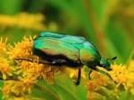 La cétoine dorée, un insecte auxiliaire utile au jardin
