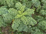Chou Kale : frisé et tendance