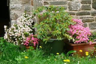 Azalées en fleurs et rhododendron en pots