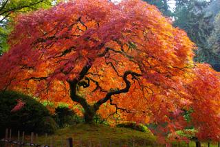 Vénérable érable du Japon en automne
